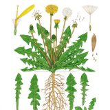 Drawing of dandelions