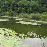 Lily pads in the Catskills pond