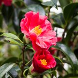 A pink camellia.