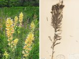 photo and specimen of the yellow flowers and greenery of yellow toadflax