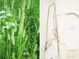 photo and specimen of long green shoots of timothy grass