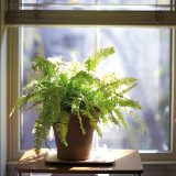 Photo of a Boston Fern near a window