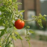 A tomato growing on a vine.