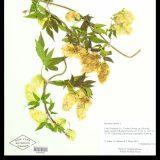 Humulus lupulus specimen