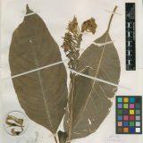 Lobelia Herbarium