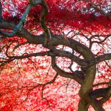 Image of a Japanese Maple Tree