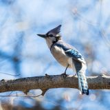A bluejay on a branch in fall.