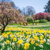Yellow and white daffodils with pink trees in the background