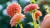 Image of three pink dahlias