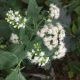 Image of a white snakeroot flower