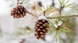 Photo of snowy pinecones