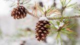 Photo of pinecones