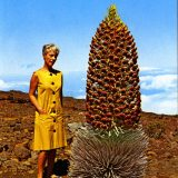 Photo of a tourist standing next to Hawaiian silversword