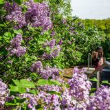 Woman taking photo of lilacs on path