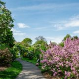 Young woman walking on path with pink lilacs