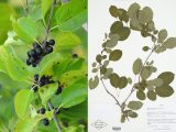 photo and specimen of the black berries and green round leaves of common buckthorn