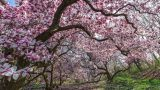 Image of the Magnolia trees in pink bloom