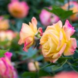 A close-up shot of pink- and cream-colored roses.