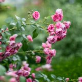 Photo of roses in fall