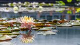 Photo of a water lily