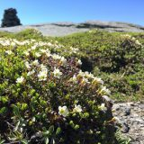 Diapensia flowers in bloom on a rocky cliff.