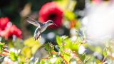 Photo of a hummingbird in the Perennial Garden