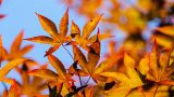 Photo of a Japanese maple in fall