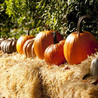 orange pumpkins lined up on haybales