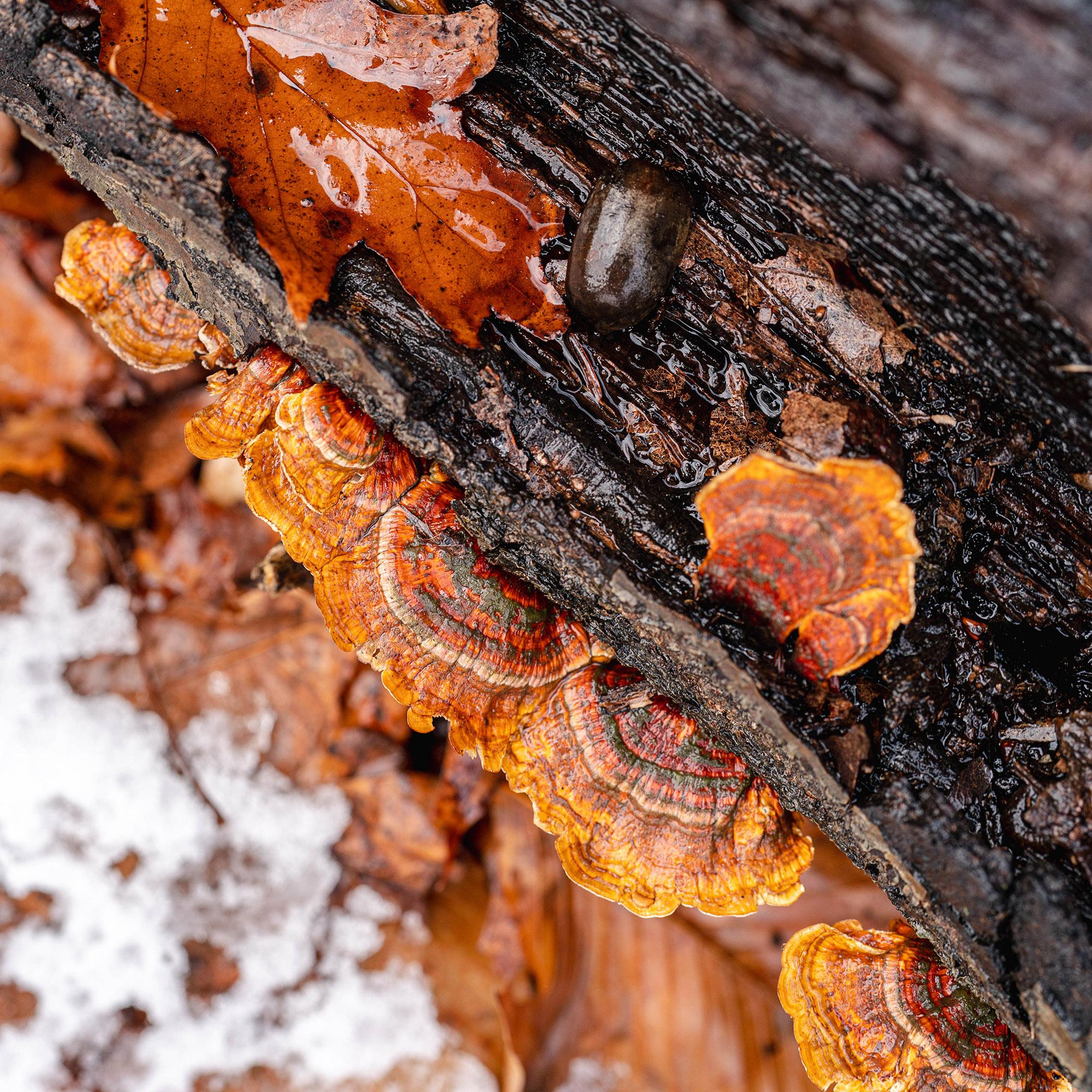 Photo of Shelf Fungi