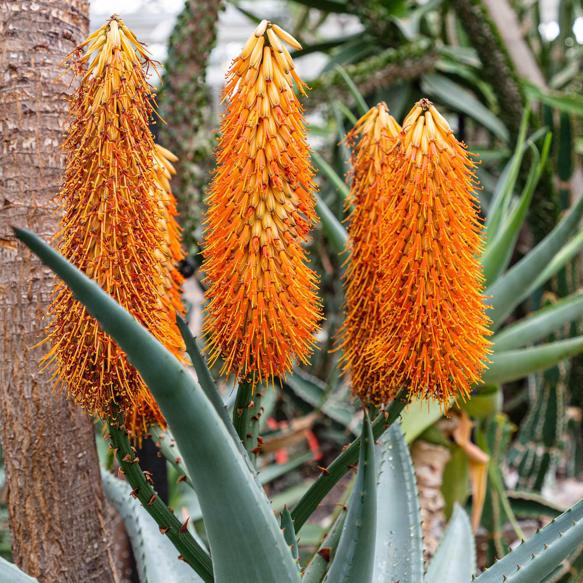 Photo of orange Aloe ferox flowers