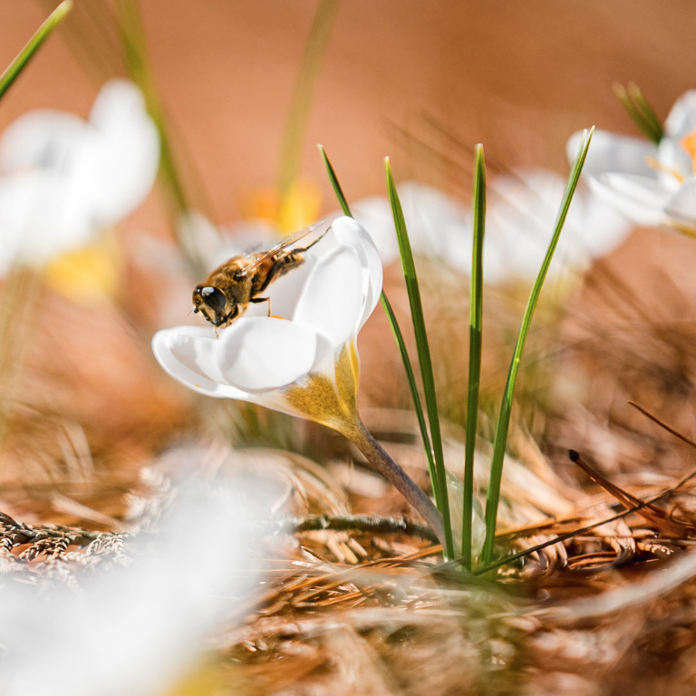 Photo of a bee-mimicking fly atop a white crocus