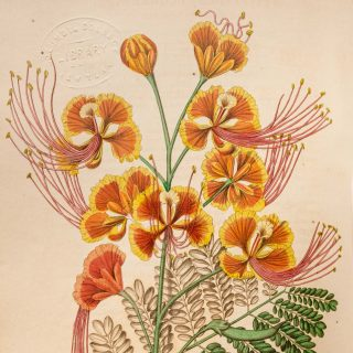 An illustration of yellow-tipped, fan-shaped orange peacock flowers.