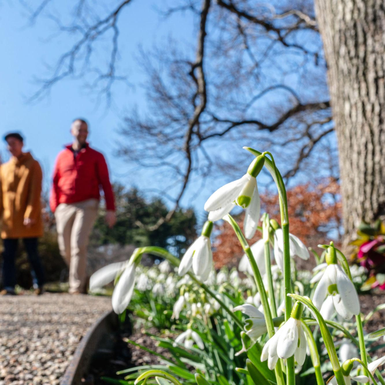 A close-up of snowdrops with visitors strolling by in the background.