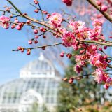 A close-up of Japanese apricot blooms.