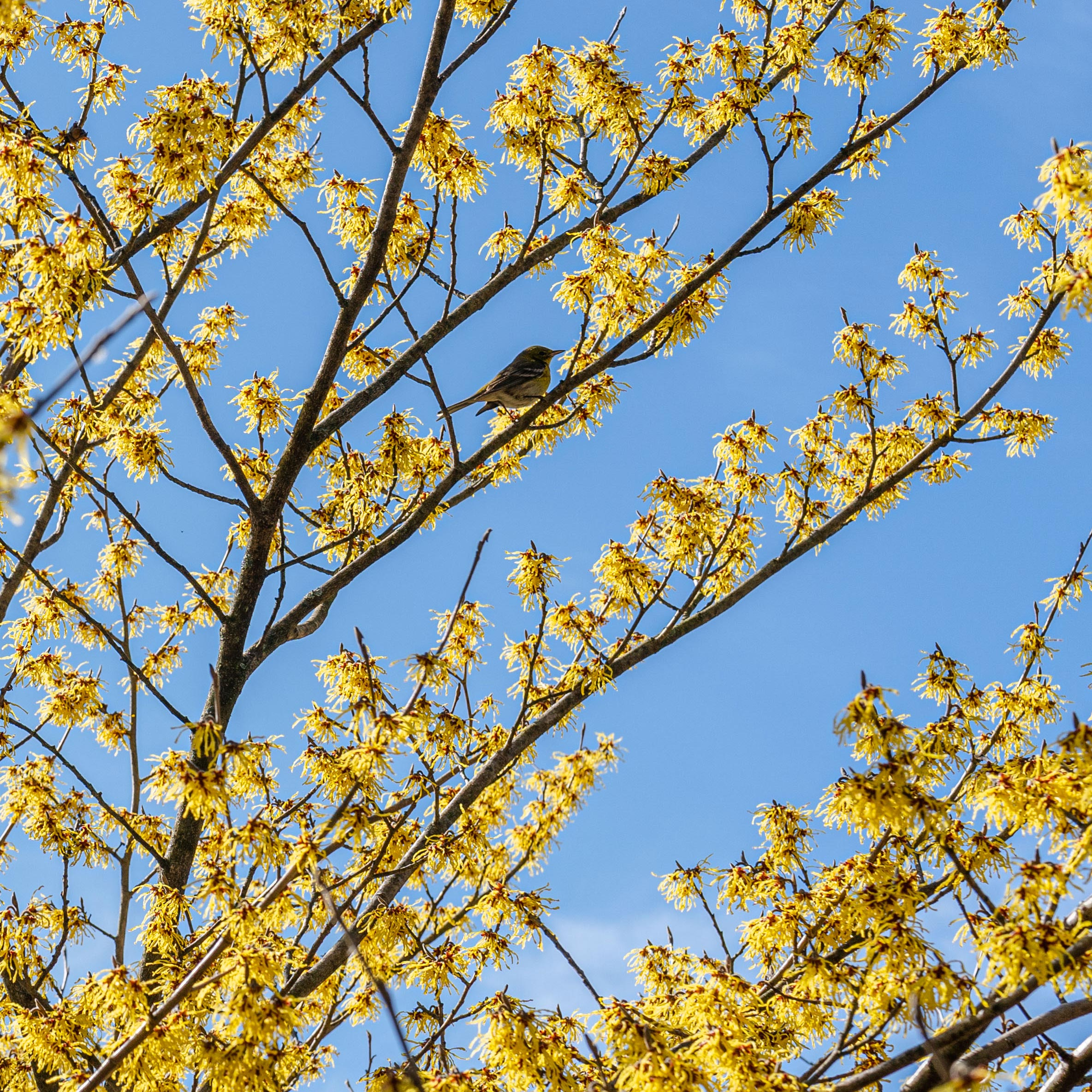 A birst perched amid striking yellow witch-hazels.