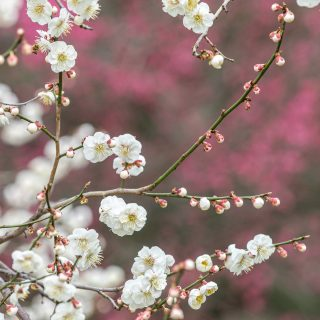 Photo of a Japanese apricot tree in bloom