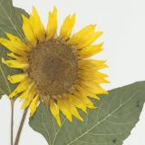 A herbarium specimen of a sunflower.