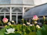 Two pink lotuses and one white lotus in bloom with the Conservatory in the background