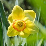 Photo of a yellow daffodil