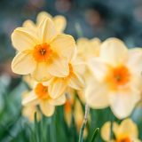 Bright yellowish and orange daffodils