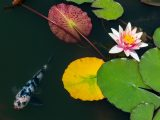 White and pink lotus with multi-colored leaves around it and a black and white spotted fish