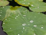 Close up of green lily pad with water droplets