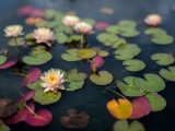 Pink lotuses and green and red water lilies floating on water