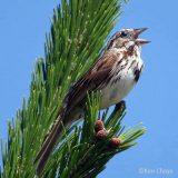 A bird singing