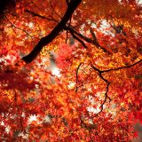 Red foliage of a Japanese Maple