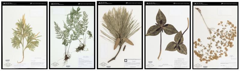 Photo of Herbarium Specimens