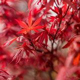 Photo of Japanese maple leaves