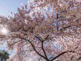 light pink cherry tree