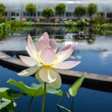 Photo of a lotus in bloom