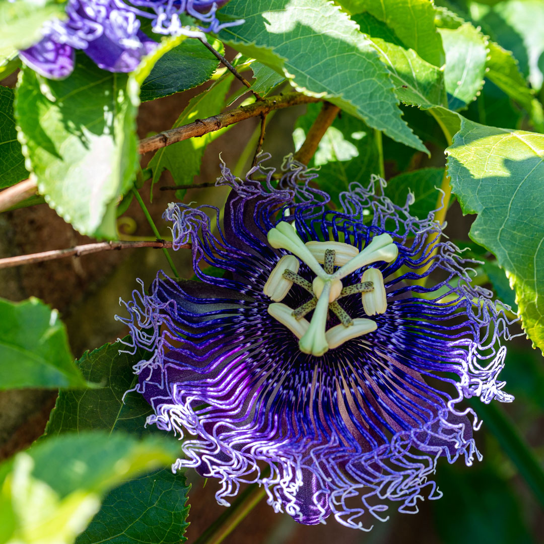 Photo of a passionflower